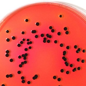 Salmonella Enteritidis on Lab M LAB221 XLT4 Agar