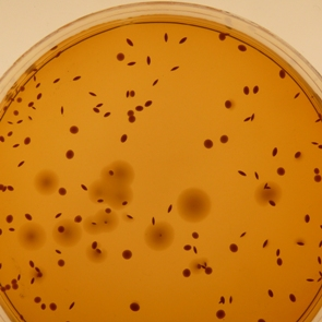 M.R.S Agar - de Man, Rogosa and Sharpe Agar