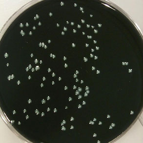 BCYE Legionella Isolation Medium - Lab M